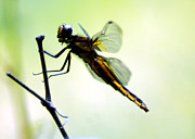 Dragon Fly Mixed Media Posters - Dragon Fly Poster by Optical Playground By MP Ray