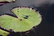 Dragon Fly On A Lily Photos - Dragon Fly On A Lily Pad by Charlie Day
