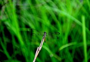 Dragon Fly Posters - Dragon Fly Poster by Photo Advocate