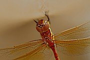 Ramabhadran Thirupattur - Dragon Fly