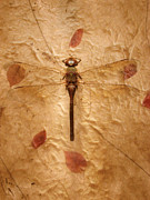 Dragon Fly Posters - Dragon Fly Poster by Robert Mollett