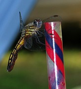 Robert Morin - Dragon Fly with Eggs - 1