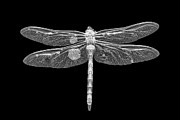 Dragon Fly Posters - Dragon in Black Poster by Todd Bielby