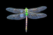 Dragon Fly Posters - Dragon in water Poster by Todd Bielby
