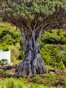 Vinos Photo Prints - Dragon Tree Print by Karol Kozlowski
