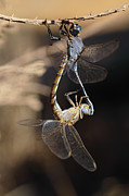 Dragonflies Mating Photos - Dragonflies by Mick Gosling