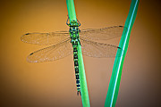 Dragonfly Framed Prints - dragonfly Aeshna cyanea Framed Print by Dirk Ercken