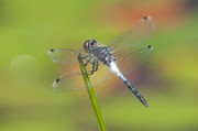 Dragonflies Art - Dragonfly and Lily Pads by Clarence Holmes