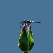 Byron Varvarigos - Dragonfly Appreciates A Flower