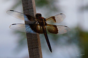 Valuable Prints - Dragonfly at Rest Print by Mick Anderson