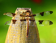 Dragonfly Photo Originals - Dragonfly by Chris Walker