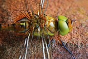 HJBH Photography - Dragonfly close-up