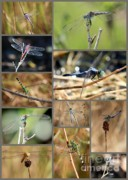 Decor Photography Photo Posters - Dragonfly Collage Poster by Carol Groenen