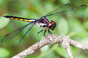Dragonfly Print by Dawna  Moore Photography