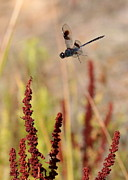 Dragonflies Photos - Dragonfly Flying over Brown Reeds by Carol Groenen