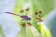 Dragonflies Metal Prints - Dragonfly Friends Metal Print by Bonnie Barry