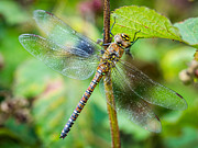 Dragon Fly Photos - Dragonfly. by Gary Gillette