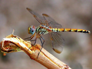Middle East Photo Posters - Dragonfly Poster by Graham Taylor