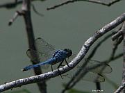Dragonfly Print by Greg Patzer