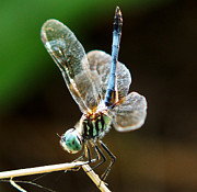 Kim Pate Metal Prints - Dragonfly Headstand Metal Print by Kim Pate