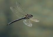 Dragonfly In Flight Print by Bob Christopher