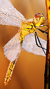Odon Czintos - Dragonfly in nature