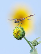 Dragon Fly Framed Prints - Dragonfly In Sunflowers Framed Print by Robert Frederick