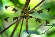 Dragonfly Photo Framed Prints - Dragonfly  Framed Print by Jeff Klingler