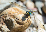 Magnification Prints - Dragonfly Print by Marco Oliveira