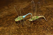 Blue Dragon Fly Prints - Dragonfly Mates Print by Adam Jewell