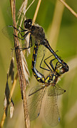 Dragonflies Mating Photos - Dragonfly  by Michael  Nau