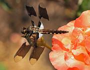 Kenneth Haley - Dragonfly on a Rosebud