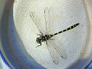 Betty E Duncan Framed Prints - Dragonfly on a Straw Hat Framed Print by Betty E Duncan