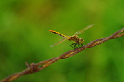 Dragonflies Metal Prints - Dragonfly On Barbed Wire Metal Print by Jeff  Swan