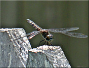 Mikki Cucuzzo - Dragonfly on Fence