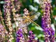 Dragon Fly Posters - Dragonfly On Purple Poster by Christy Patino