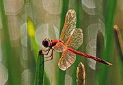 Larry Nieland - Dragonfly Profile