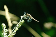 Dragonflies Photos - Dragonfly Resting In The Wind  by Jeff  Swan