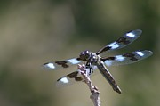 Dragonflies Photos - Dragonfly Resting  by Jeff  Swan