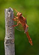 Susan Wiedmann - Dragonfly Resting