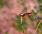 Dragonflies Metal Prints - Dragonfly Metal Print by Rona Black