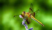 Yellow Dragonfly Posters - Dragonfly Summer Poster by Scotts Scapes