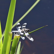 Dragonfly Photos - Dragonfly by Tania Morris