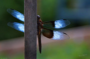 Valuable Prints - Dragonfly with Iridescent Wings Print by Mick Anderson
