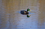 Featured On Fineart America - Drake Mallard by Sean Griffin