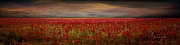 Drama Over The Flower Fields Print by Angela A Stanton