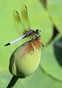 Dragonfly Framed Prints - Dramatic Dragonfly Framed Print by Sabrina L Ryan
