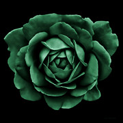 Green Florals Prints - Dramatic Forest Green Rose Portrait Print by Jennie Marie Schell