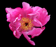 Fushia Photo Metal Prints - Dramatic Hot Pink Peony Flower Metal Print by Jennie Marie Schell