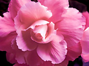Begonias Posters - Dramatic Pink Begonia Floral Poster by Jennie Marie Schell